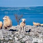 Na kamnitih goličavah od domačih živali preživi le drobnica. (foto: Urban Golob)