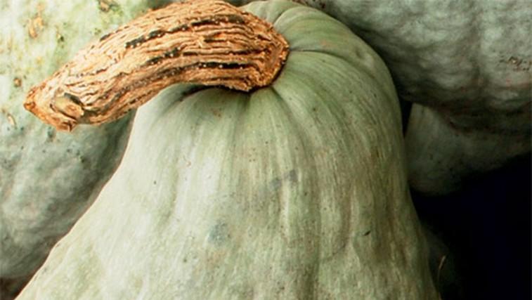 Buča hubbard (foto: Shutterstock.com)