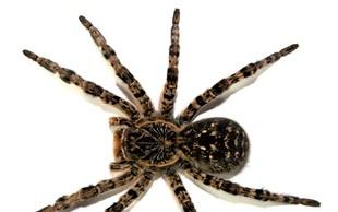Ali imate pajka v hlačah?
