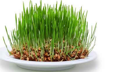 Pšenična trava preprečuje nastanek ateroskleroze