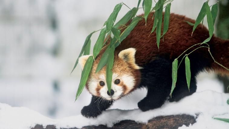 Foto utrinki: Zima v ljubljanskem živalskem vrtu (foto: Goran Antley)