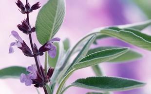 24 zdravilnih zelišč in njihovo posebno učinkovanje