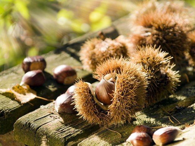 S kostanjem do bolj redne prebave - Foto: Shutterstock.com