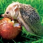 Lahko tudi za vzor: ježki si že nabirajo zimske zaloge hrane – tudi nam je ne bo škodilo nekaj več. (foto: fotolia)