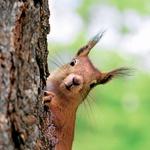 Razvedrijo duha: ljubke veverice, ki se igrajo skrivalnice z nami. (foto: fotolia)