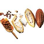Da bi prišli do kakavovih zrn, je treba najprej odpreti velik sadež. Med fermentiranjem se izgubi veliko grenčičnih snovi. Zares prave arome pa se razvijejo šele takrat, ko se zrna posušijo, očistijo, razvrstijo in popražijo. (foto: fotolia, promo)