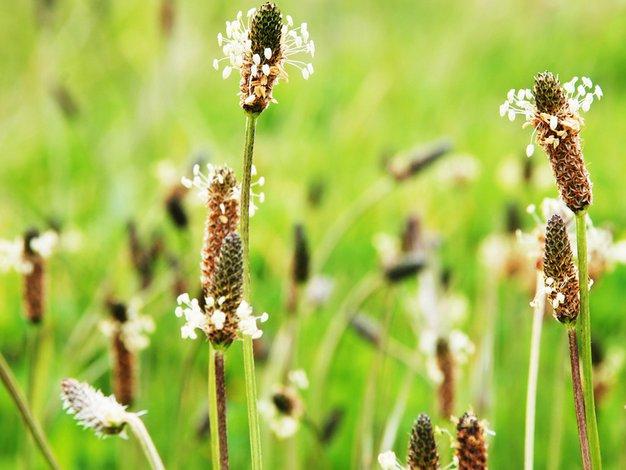 Katere rastline so povzročiteljice alergij? - Foto: Shutterstock, Shutterstock.com, Profimedia