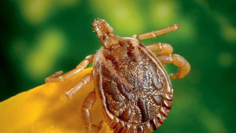 Bolezni in neprijetnosti, ki jih prinašajo klopi (foto: Revija Lisa)