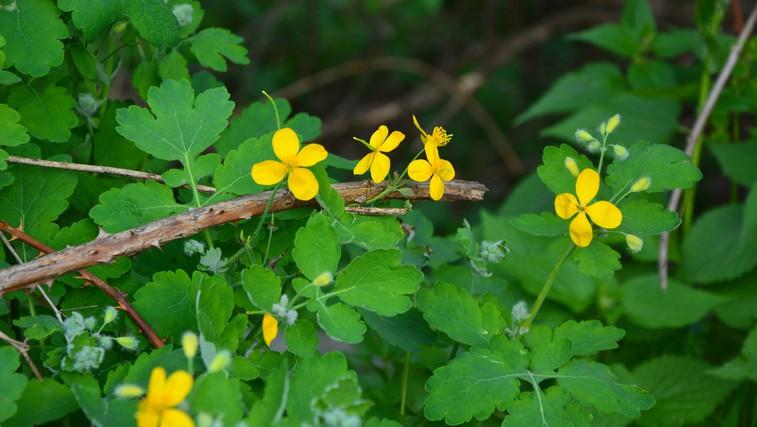 Tradicionalne zdravilne rastline (foto: Shutterstock.com)