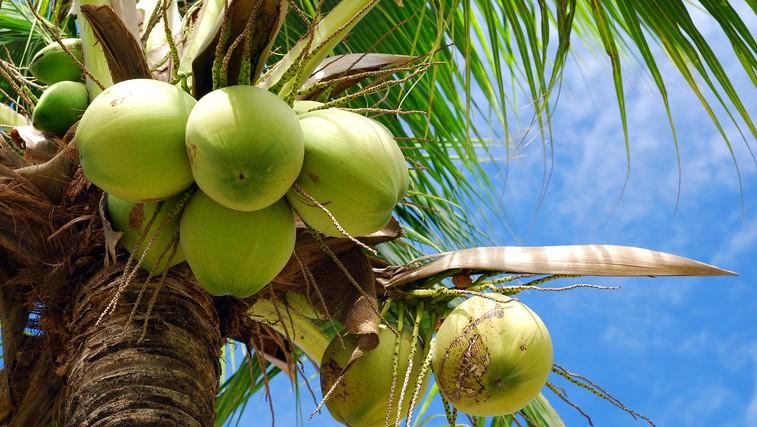 Kokos - nepogrešljiv v kuhinji in kopalnici (foto: Shutterstock.com)