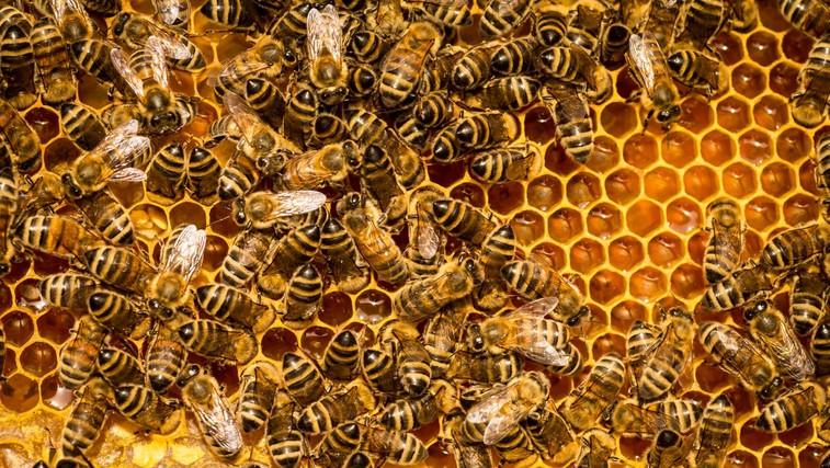 Zdravilni učinki medu, propolisa in ostalih čebeljih izdelkov (foto: profimedia)