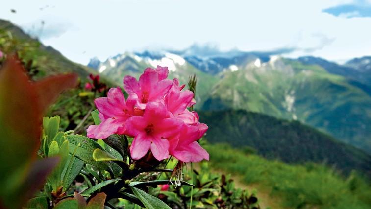 Sončna lega: Kljub višini je na planotah precej različnih rož, rastlin. (foto: Goran Antley)