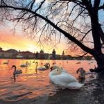 Dan se poslavlja, labodi prihajajo – romantičen prizor na bregu Vltave. (foto: fotolia)
