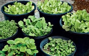 Zelena zelišča - bombice okusa in zdravja