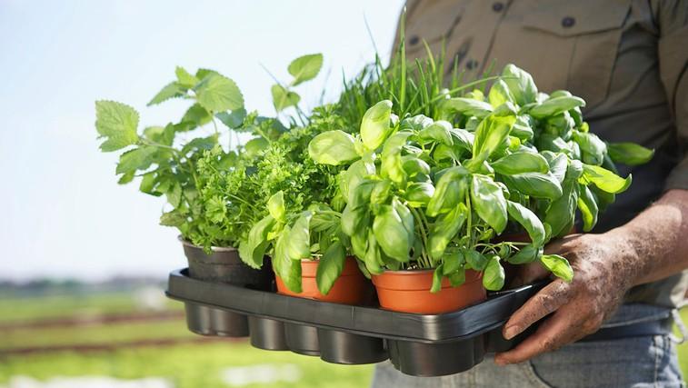 Zelišča, ki blagodejno in zdravilno vplivajo na naše telo (foto: profimedia)