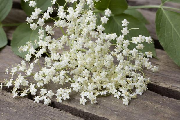 Bezeg je vsestransko uporabna rastlina, ki ima številne zdravilne učinke. Bezgov čaj uporabljajo za zdravljenje bronhitisa, pljučnice, kašlja in tudi …