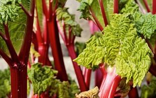 Jesenska rabarbara: Iz nje lahko tudi oktobra pripravite okusne jedi