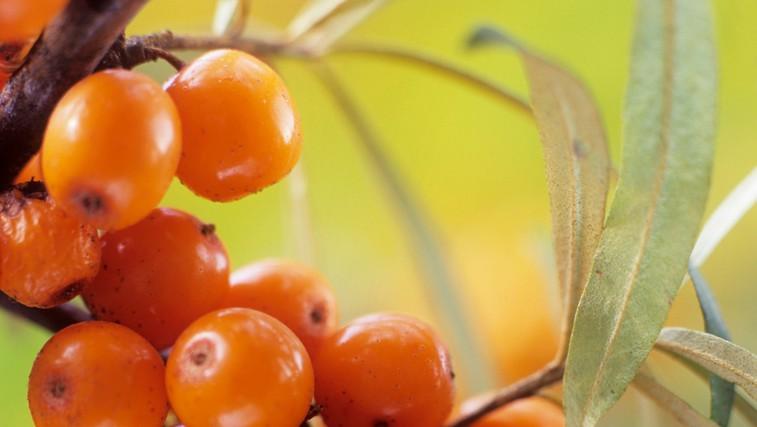 Rakitovec – plodovi s posebno močjo (foto: Profimedia)