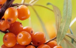 Rakitovec – plodovi s posebno močjo
