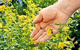Šentjanževka - rastlina svetlobe in luči