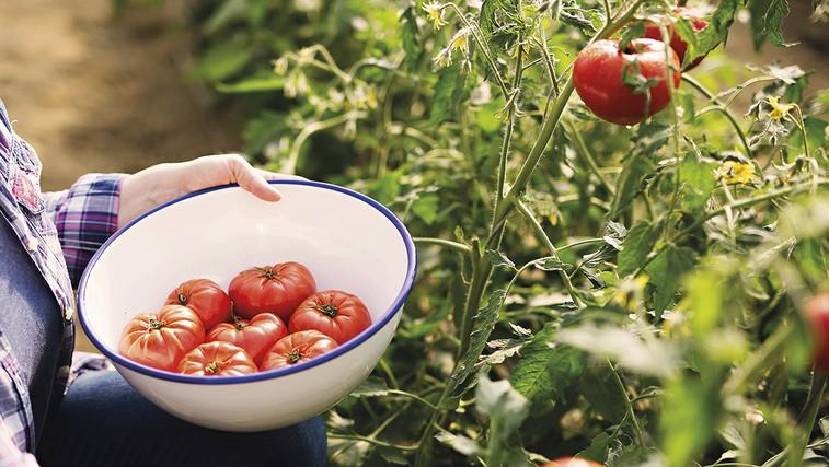 Čas je za paradižnik Kot nekoč (foto: Promo)