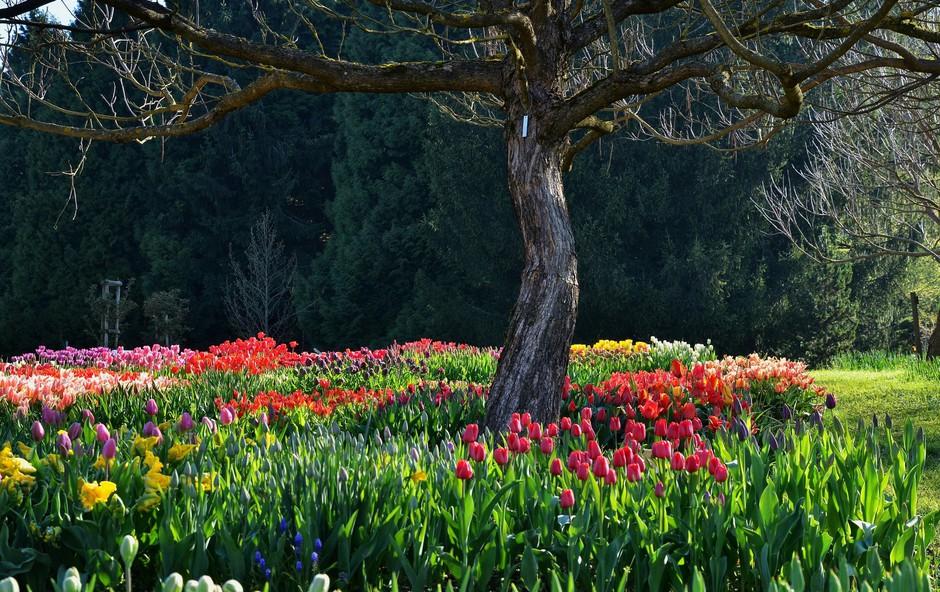 Ideja za izlet: Na sprehod med tulipane v Volčji Potok (foto: Bojan Kolman)
