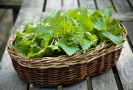 Kopriva – uporaba, nabiranje, sušenje in zdravilni učinki koprive, za katere bi morali vedeti prav vsi
