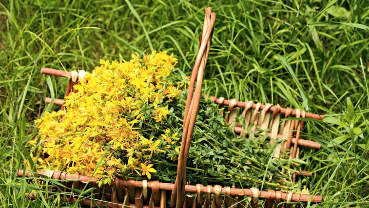 Čudežna šentjanževka (foto: Shutterstock)