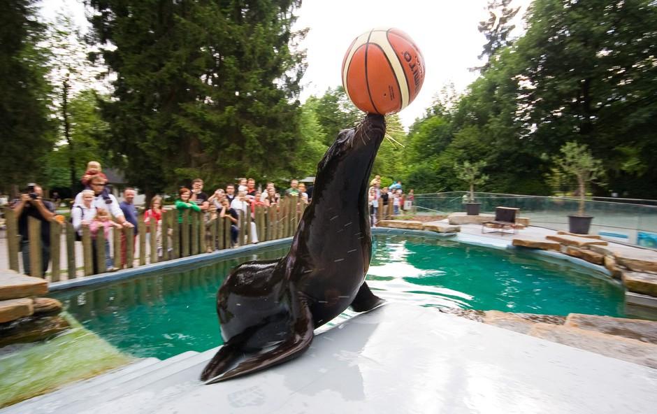 Morska leva Kalle in Jip uživata v obnovljenem bazenu (foto: Foto: Zoo)