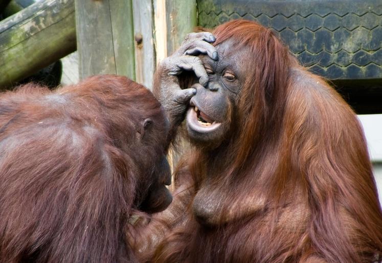 Orangutani se, poleg goril in šimpanzov, smejejo ob fizičnem kontaktu, kot je žgečkanje ali pa objemanje.