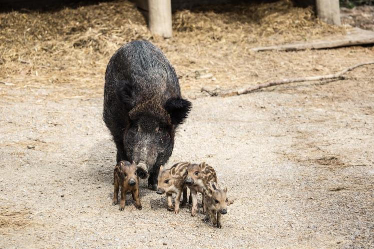 Divja svinja sama skrbi za mladiče Konec februarja je ponovno postala mama tudi divja svinja, ki sama skrbi za svoje …