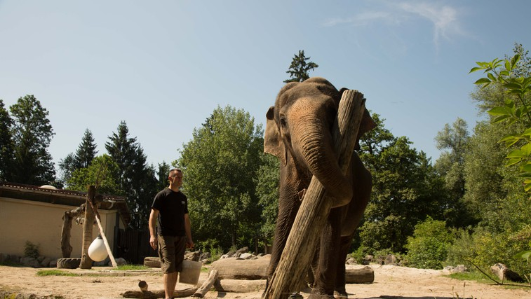 Zakaj ''hodijo v šolo'' tudi živali? Največja učenka - slonica Ganga - je odličnjakinja (foto: arhiv ZOO)