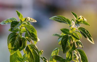 To dišeče zdravilno zelišče pomaga ublažiti srbečico in rdečico po piku komarja ali drugega mrčesa