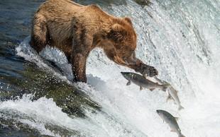 Tole morate videti! Kako spretno rjavi medved lovi ribe