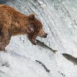 Tole morate videti! Kako spretno rjavi medved lovi ribe (foto: profimedia)