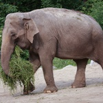 Živalski vrt Ljubljana v soboto, 15. ter v nedeljo, 16. avgusta, vabi, da z največjo damo v državi praznujete svetovni dan slonov (foto: arhiv ZOO)