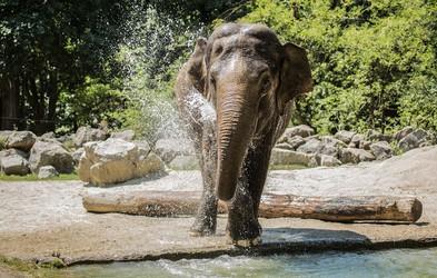 Živalski vrt Ljubljana v soboto, 15. ter v nedeljo, 16. avgusta, vabi, da z največjo damo v državi praznujete svetovni dan slonov