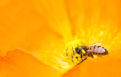 Čebelji strup lahko uniči agresivne celice raka dojk (raziskava)