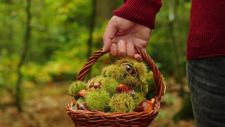 Gozdni bonton (in zakoni) pri nabiranju kostanja (foto: profimedia)
