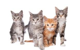 Imate radi mačje mijavkanje? Predstavljamo najbolj priljubljene pasme mačk med Slovenci