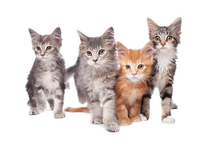 """No, poglejmo, katere pasme mačk imamo najraje Slovenci. Kateri mali kosmati """"bogovi"""" vladajo v naših domovih."""