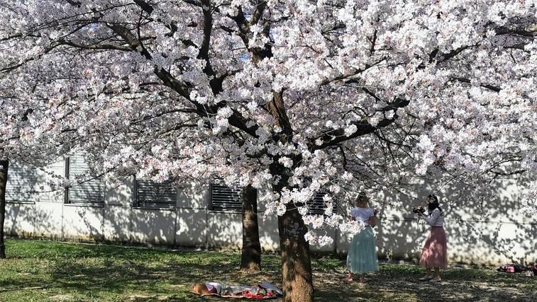 Japonske češnje že 22 let čarobno cvetijo sredi Ljubljane (popularna Instagram točka!) (foto: DDD)