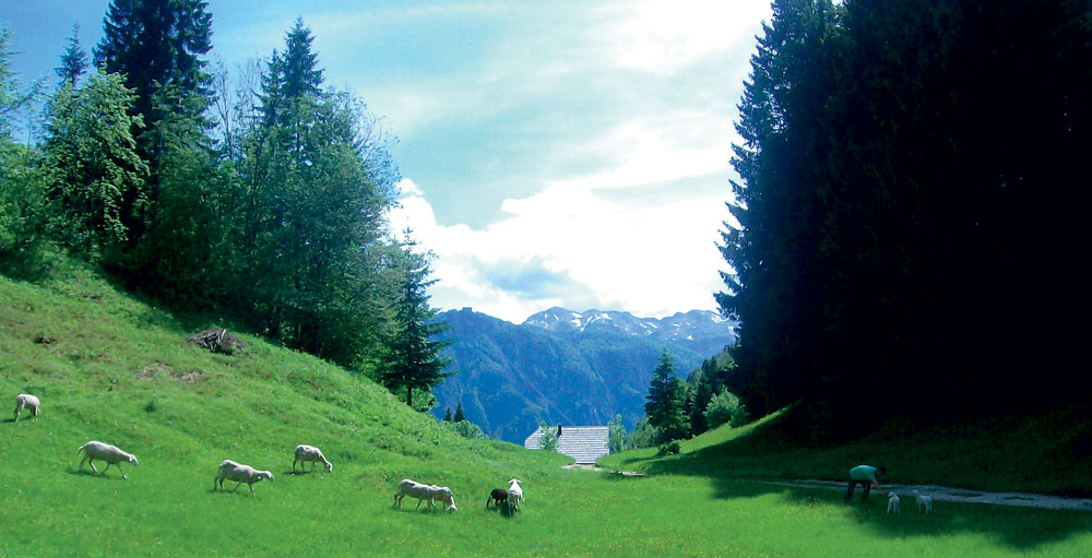 Pašniki na planini Vogar
